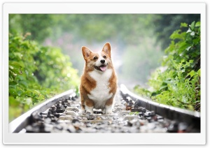 Corgi Ultra HD Wallpaper for 4K UHD Widescreen desktop, tablet & smartphone
