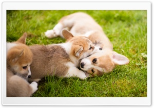 Corgi Puppies HD Wide Wallpaper for Widescreen