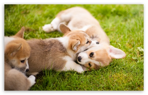 Corgi Puppies ❤ 4K UHD Wallpaper for Wide 16:10 5:3 Widescreen WHXGA WQXGA WUXGA WXGA WGA ; UltraWide 21:9 ; 4K UHD 16:9 Ultra High Definition 2160p 1440p 1080p 900p 720p ; Standard 4:3 5:4 3:2 Fullscreen UXGA XGA SVGA QSXGA SXGA DVGA HVGA HQVGA ( Apple PowerBook G4 iPhone 4 3G 3GS iPod Touch ) ; Smartphone 16:9 3:2 5:3 2160p 1440p 1080p 900p 720p DVGA HVGA HQVGA ( Apple PowerBook G4 iPhone 4 3G 3GS iPod Touch ) WGA ; Tablet 1:1 ; iPad 1/2/Mini ; Mobile 4:3 5:3 3:2 16:9 5:4 - UXGA XGA SVGA WGA DVGA HVGA HQVGA ( Apple PowerBook G4 iPhone 4 3G 3GS iPod Touch ) 2160p 1440p 1080p 900p 720p QSXGA SXGA ;