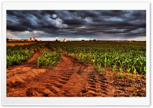 Corn Plantation HDR HD Wide Wallpaper for Widescreen