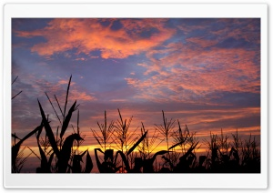 Cornfield HD Wide Wallpaper for Widescreen
