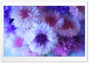 Cornflower Bouquet HD Wide Wallpaper for Widescreen