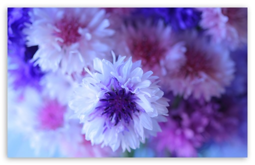 Cornflower Bouquet ❤ 4K UHD Wallpaper for Wide 16:10 5:3 Widescreen WHXGA WQXGA WUXGA WXGA WGA ; 4K UHD 16:9 Ultra High Definition 2160p 1440p 1080p 900p 720p ; Standard 4:3 5:4 3:2 Fullscreen UXGA XGA SVGA QSXGA SXGA DVGA HVGA HQVGA ( Apple PowerBook G4 iPhone 4 3G 3GS iPod Touch ) ; Tablet 1:1 ; iPad 1/2/Mini ; Mobile 4:3 5:3 3:2 16:9 5:4 - UXGA XGA SVGA WGA DVGA HVGA HQVGA ( Apple PowerBook G4 iPhone 4 3G 3GS iPod Touch ) 2160p 1440p 1080p 900p 720p QSXGA SXGA ;