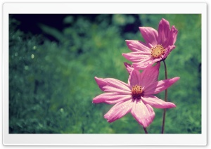 Cosmos Bipinnatus HD Wide Wallpaper for Widescreen