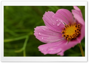 Cosmos Flower HD Wide Wallpaper for Widescreen