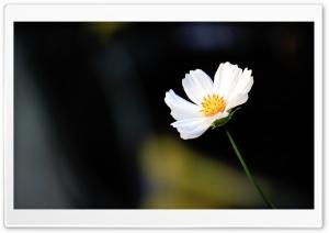 Cosmos Flower Ultra HD Wallpaper for 4K UHD Widescreen desktop, tablet & smartphone
