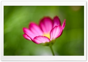 Cosmos Flower in Dream HD Wide Wallpaper for Widescreen