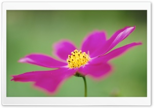Cosmos Flower Macro HD Wide Wallpaper for 4K UHD Widescreen desktop & smartphone