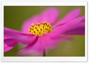 Cosmos Flower Macro HD Wide Wallpaper for Widescreen