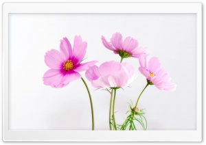 Cosmos Flowers HD Wide Wallpaper for Widescreen