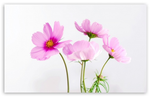 Cosmos Flowers ❤ 4K UHD Wallpaper for Wide 16:10 5:3 Widescreen WHXGA WQXGA WUXGA WXGA WGA ; 4K UHD 16:9 Ultra High Definition 2160p 1440p 1080p 900p 720p ; Standard 4:3 5:4 3:2 Fullscreen UXGA XGA SVGA QSXGA SXGA DVGA HVGA HQVGA ( Apple PowerBook G4 iPhone 4 3G 3GS iPod Touch ) ; Smartphone 5:3 WGA ; Tablet 1:1 ; iPad 1/2/Mini ; Mobile 4:3 5:3 3:2 16:9 5:4 - UXGA XGA SVGA WGA DVGA HVGA HQVGA ( Apple PowerBook G4 iPhone 4 3G 3GS iPod Touch ) 2160p 1440p 1080p 900p 720p QSXGA SXGA ;