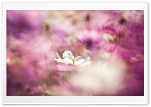 Cosmos Flowers Bokeh HD Wide Wallpaper for Widescreen