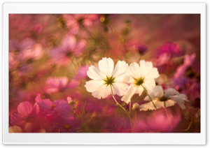 Cosmos Flowers in Garden HD Wide Wallpaper for Widescreen