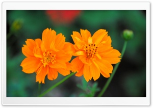 Cosmos Sulphureus Flower HD Wide Wallpaper for Widescreen