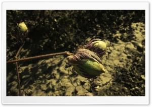 Cotton Ultra HD Wallpaper for 4K UHD Widescreen desktop, tablet & smartphone