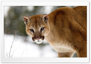 Cougar In Winter Montana HD Wide Wallpaper for 4K UHD Widescreen desktop & smartphone