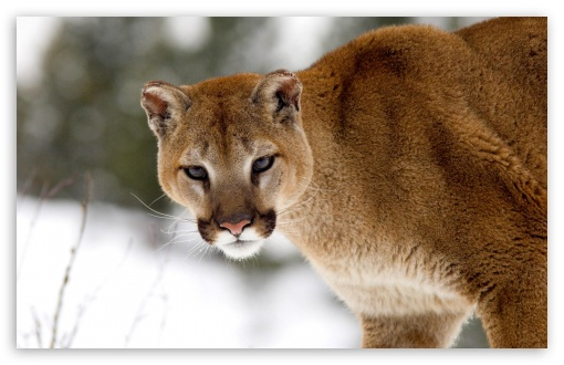 Cougar In Winter Montana HD wallpaper for Wide 16:10 5:3 Widescreen WHXGA WQXGA WUXGA WXGA WGA ; Standard 4:3 5:4 3:2 Fullscreen UXGA XGA SVGA QSXGA SXGA DVGA HVGA HQVGA devices ( Apple PowerBook G4 iPhone 4 3G 3GS iPod Touch ) ; iPad 1/2/Mini ; Mobile 4:3 5:3 3:2 5:4 - UXGA XGA SVGA WGA DVGA HVGA HQVGA devices ( Apple PowerBook G4 iPhone 4 3G 3GS iPod Touch ) QSXGA SXGA ;