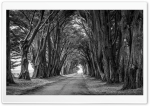 Country Road, Aligned Trees, Black and White Ultra HD Wallpaper for 4K UHD Widescreen desktop, tablet & smartphone