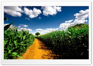 Country Road Between Corn Fields Ultra HD Wallpaper for 4K UHD Widescreen desktop, tablet & smartphone