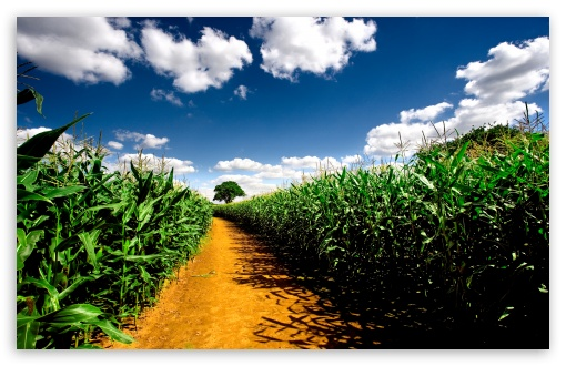 Country Road Between Corn Fields HD wallpaper for Standard 4:3 5:4 Fullscreen UXGA XGA SVGA QSXGA SXGA ; Wide 16:10 5:3 Widescreen WHXGA WQXGA WUXGA WXGA WGA ; HD 16:9 High Definition WQHD QWXGA 1080p 900p 720p QHD nHD ; Other 3:2 DVGA HVGA HQVGA devices ( Apple PowerBook G4 iPhone 4 3G 3GS iPod Touch ) ; Mobile VGA WVGA iPhone iPad PSP Phone - VGA QVGA Smartphone ( PocketPC GPS iPod Zune BlackBerry HTC Samsung LG Nokia Eten Asus ) WVGA WQVGA Smartphone ( HTC Samsung Sony Ericsson LG Vertu MIO ) HVGA Smartphone ( Apple iPhone iPod BlackBerry HTC Samsung Nokia ) Sony PSP Zune HD Zen ; Tablet 2 Android ; Dual 4:3 5:4 16:10 5:3 16:9 UXGA XGA SVGA QSXGA SXGA WHXGA WQXGA WUXGA WXGA WGA WQHD QWXGA 1080p 900p 720p QHD nHD ;