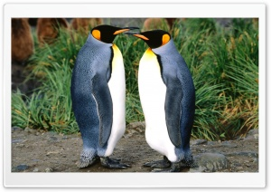 Couple Of King Penguins HD Wide Wallpaper for Widescreen