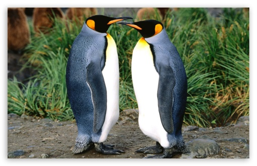 Couple Of King Penguins HD wallpaper for Wide 16:10 5:3 Widescreen WHXGA WQXGA WUXGA WXGA WGA ; Standard 4:3 5:4 3:2 Fullscreen UXGA XGA SVGA QSXGA SXGA DVGA HVGA HQVGA devices ( Apple PowerBook G4 iPhone 4 3G 3GS iPod Touch ) ; Tablet 1:1 ; iPad 1/2/Mini ; Mobile 4:3 5:3 3:2 5:4 - UXGA XGA SVGA WGA DVGA HVGA HQVGA devices ( Apple PowerBook G4 iPhone 4 3G 3GS iPod Touch ) QSXGA SXGA ;