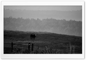 Cow BW HD Wide Wallpaper for Widescreen