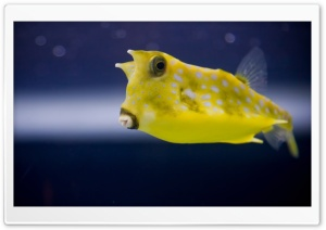 Cowfish HD Wide Wallpaper for Widescreen