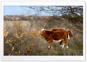 Cows and Orange Berries HD Wide Wallpaper for 4K UHD Widescreen desktop & smartphone