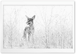 Coyote Black and White Photography HD Wide Wallpaper for Widescreen