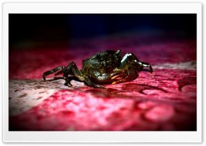 Crab Fresh Water HD Wide Wallpaper for Widescreen
