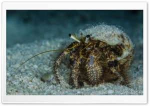 Crab Underwater HD Wide Wallpaper for Widescreen