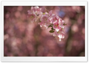 Crabapple Tree Flowers HD Wide Wallpaper for Widescreen