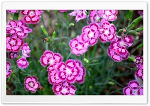 Cranberry Ice Dianthus HD Wide Wallpaper for Widescreen