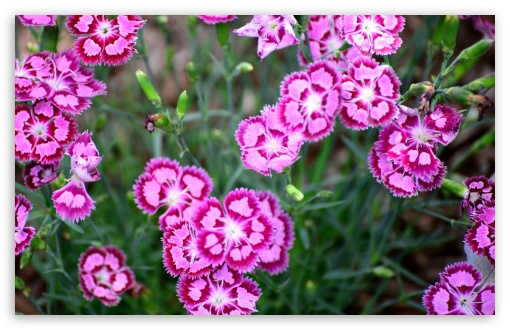 Cranberry Ice Dianthus HD wallpaper for Standard 4:3 5:4 Fullscreen UXGA XGA SVGA QSXGA SXGA ; Wide 16:10 5:3 Widescreen WHXGA WQXGA WUXGA WXGA WGA ; HD 16:9 High Definition WQHD QWXGA 1080p 900p 720p QHD nHD ; Other 3:2 DVGA HVGA HQVGA devices ( Apple PowerBook G4 iPhone 4 3G 3GS iPod Touch ) ; Mobile VGA WVGA iPhone iPad PSP Phone - VGA QVGA Smartphone ( PocketPC GPS iPod Zune BlackBerry HTC Samsung LG Nokia Eten Asus ) WVGA WQVGA Smartphone ( HTC Samsung Sony Ericsson LG Vertu MIO ) HVGA Smartphone ( Apple iPhone iPod BlackBerry HTC Samsung Nokia ) Sony PSP Zune HD Zen ; Tablet 2 Android 3 DVGA HVGA HQVGA devices ( Apple PowerBook G4 iPhone 4 3G 3GS iPod Touch ) ;