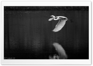 Crane Bird Flying Black and White HD Wide Wallpaper for Widescreen