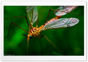 Crane Fly Macro HD Wide Wallpaper for Widescreen