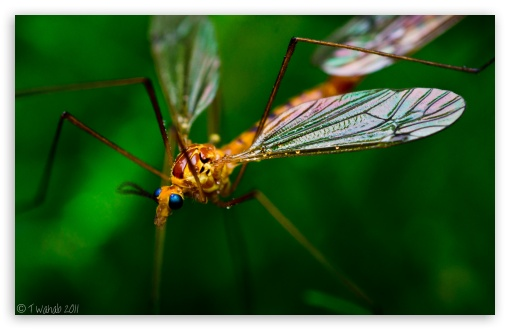 Crane Fly Macro ❤ 4K UHD Wallpaper for Wide 16:10 5:3 Widescreen WHXGA WQXGA WUXGA WXGA WGA ; 4K UHD 16:9 Ultra High Definition 2160p 1440p 1080p 900p 720p ; Standard 3:2 Fullscreen DVGA HVGA HQVGA ( Apple PowerBook G4 iPhone 4 3G 3GS iPod Touch ) ; Mobile 5:3 3:2 16:9 - WGA DVGA HVGA HQVGA ( Apple PowerBook G4 iPhone 4 3G 3GS iPod Touch ) 2160p 1440p 1080p 900p 720p ;