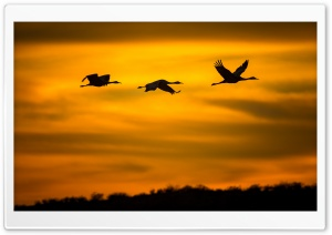 Cranes Birds in Flight HD Wide Wallpaper for Widescreen