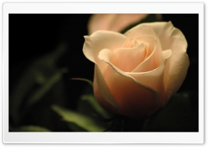 Cream Rose HD Wide Wallpaper for Widescreen