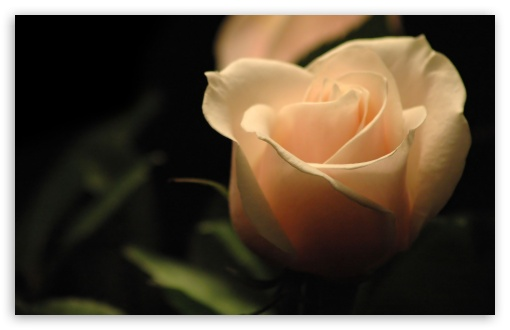 Cream Rose HD wallpaper for Standard 4:3 5:4 Fullscreen UXGA XGA SVGA QSXGA SXGA ; Wide 16:10 5:3 Widescreen WHXGA WQXGA WUXGA WXGA WGA ; HD 16:9 High Definition WQHD QWXGA 1080p 900p 720p QHD nHD ; Other 3:2 DVGA HVGA HQVGA devices ( Apple PowerBook G4 iPhone 4 3G 3GS iPod Touch ) ; Mobile VGA WVGA iPhone iPad PSP Phone - VGA QVGA Smartphone ( PocketPC GPS iPod Zune BlackBerry HTC Samsung LG Nokia Eten Asus ) WVGA WQVGA Smartphone ( HTC Samsung Sony Ericsson LG Vertu MIO ) HVGA Smartphone ( Apple iPhone iPod BlackBerry HTC Samsung Nokia ) Sony PSP Zune HD Zen ; Tablet 2 ;
