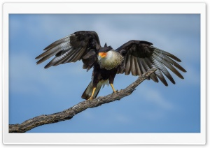 Crested Caracara Bird, Texas HD Wide Wallpaper for Widescreen
