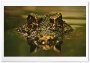 Crocodile HD Wide Wallpaper for Widescreen