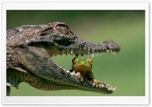 Crocodile Eating Frog HD Wide Wallpaper for 4K UHD Widescreen desktop & smartphone