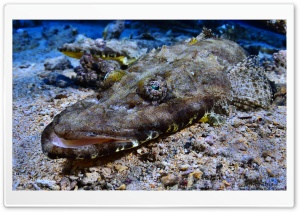Crocodilefish   Tentacled Flathead Ultra HD Wallpaper for 4K UHD Widescreen desktop, tablet & smartphone