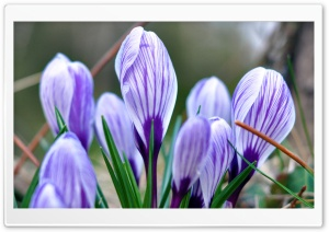 Crocus HD Wide Wallpaper for 4K UHD Widescreen desktop & smartphone