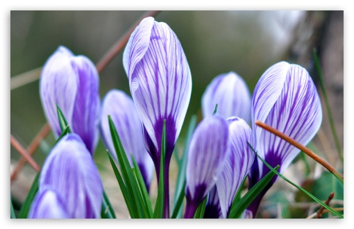Crocus HD wallpaper for Standard 4:3 5:4 Fullscreen UXGA XGA SVGA QSXGA SXGA ; Wide 16:10 5:3 Widescreen WHXGA WQXGA WUXGA WXGA WGA ; HD 16:9 High Definition WQHD QWXGA 1080p 900p 720p QHD nHD ; Other 3:2 DVGA HVGA HQVGA devices ( Apple PowerBook G4 iPhone 4 3G 3GS iPod Touch ) ; Mobile VGA WVGA iPhone iPad PSP Phone - VGA QVGA Smartphone ( PocketPC GPS iPod Zune BlackBerry HTC Samsung LG Nokia Eten Asus ) WVGA WQVGA Smartphone ( HTC Samsung Sony Ericsson LG Vertu MIO ) HVGA Smartphone ( Apple iPhone iPod BlackBerry HTC Samsung Nokia ) Sony PSP Zune HD Zen ; Tablet 2 Android ;