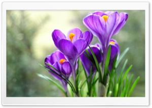 Crocus HD Wide Wallpaper for Widescreen