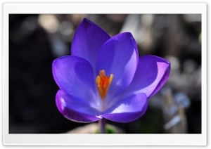 Crocus Blossom HD Wide Wallpaper for Widescreen