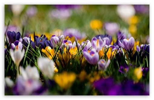 Crocus Field HD wallpaper for Wide 16:10 5:3 Widescreen WHXGA WQXGA WUXGA WXGA WGA ; HD 16:9 High Definition WQHD QWXGA 1080p 900p 720p QHD nHD ; Standard 4:3 5:4 3:2 Fullscreen UXGA XGA SVGA QSXGA SXGA DVGA HVGA HQVGA devices ( Apple PowerBook G4 iPhone 4 3G 3GS iPod Touch ) ; Tablet 1:1 ; iPad 1/2/Mini ; Mobile 4:3 5:3 3:2 16:9 5:4 - UXGA XGA SVGA WGA DVGA HVGA HQVGA devices ( Apple PowerBook G4 iPhone 4 3G 3GS iPod Touch ) WQHD QWXGA 1080p 900p 720p QHD nHD QSXGA SXGA ;